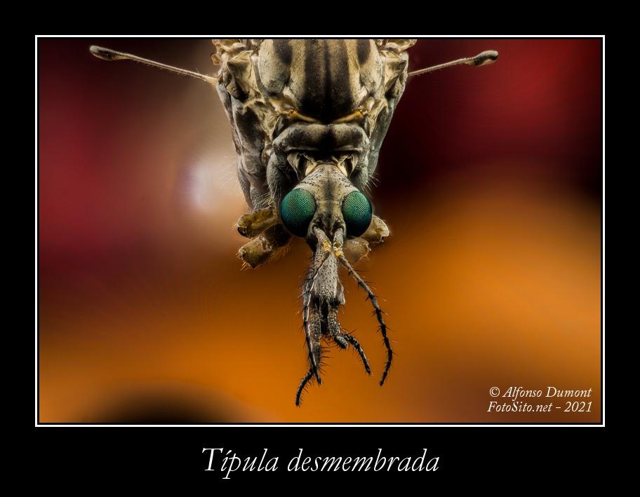 Tipula desmembrada
