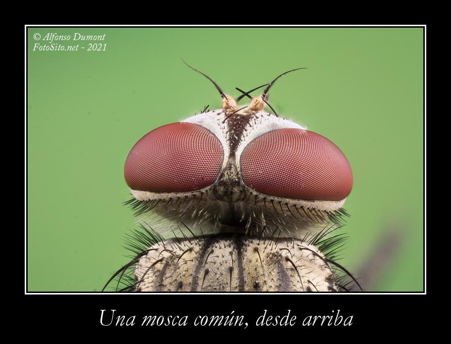 Una mosca comun desde arriba