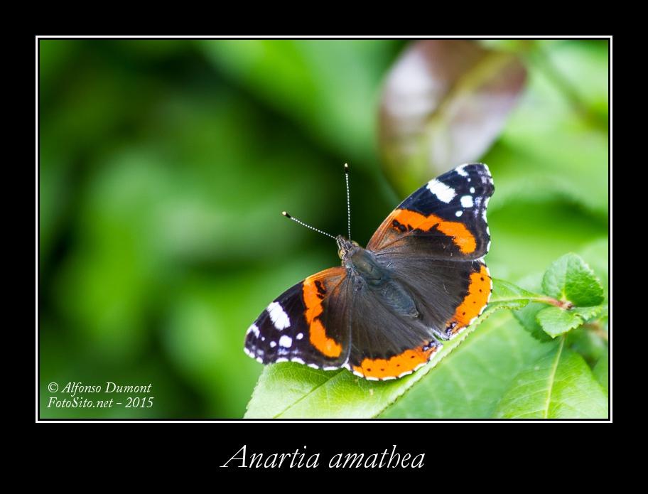 Anartia amathea