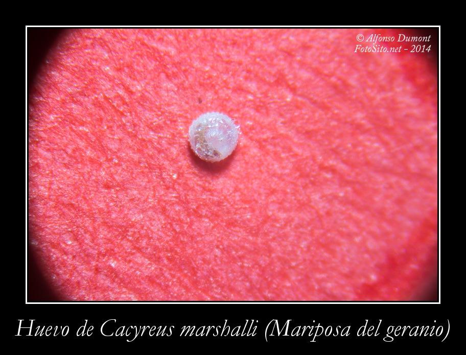 Huevo de Cacyreus marshalli Mariposa del geranio