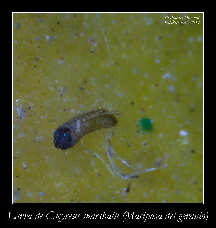 Larva de Cacyreus marshalli Mariposa del geranio