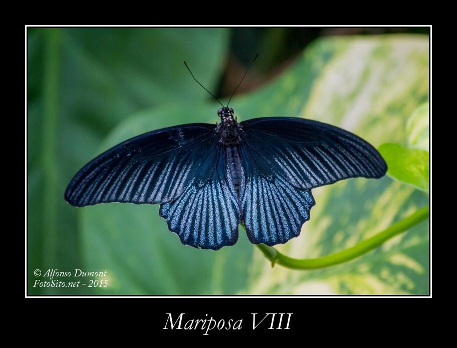 Mariposa VIII