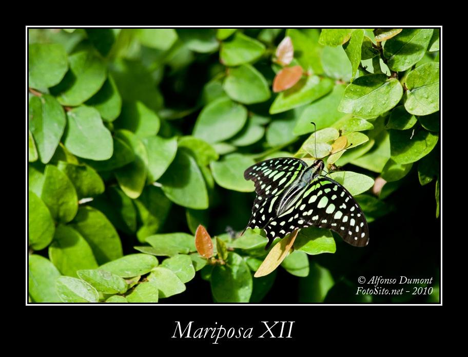 Mariposa XII