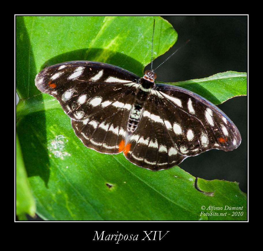 Mariposa XIV