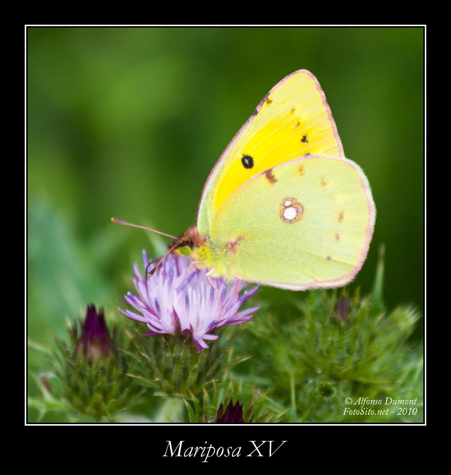 Mariposa XV
