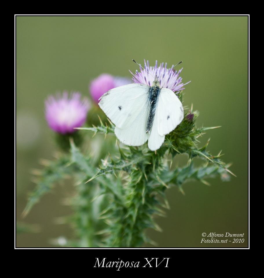 Mariposa XVI