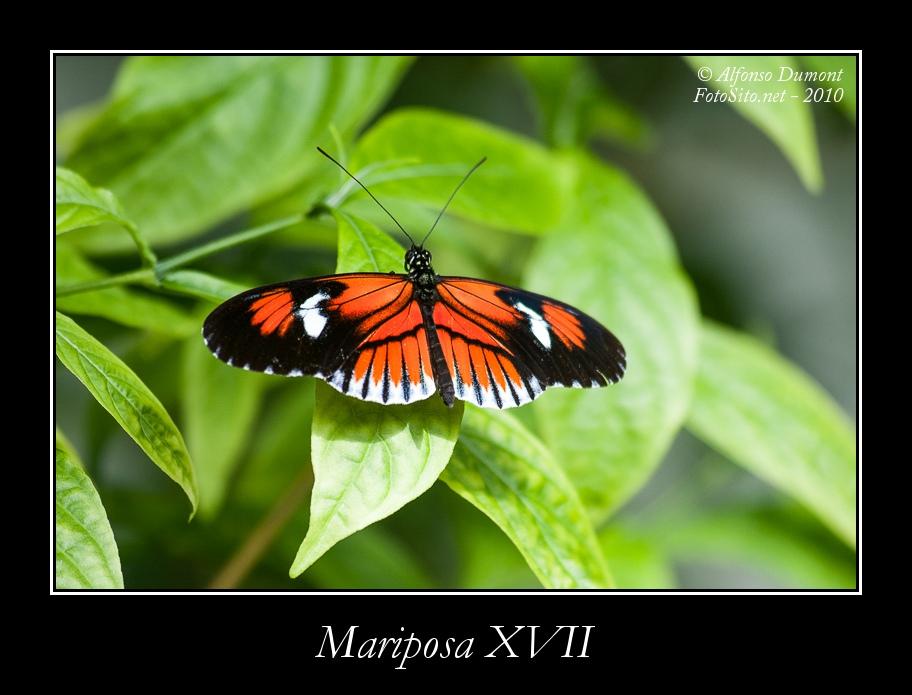 Mariposa XVII