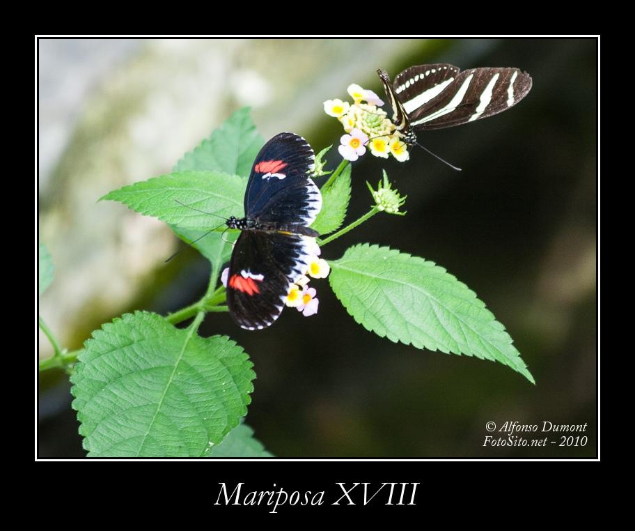 Mariposa XVIII
