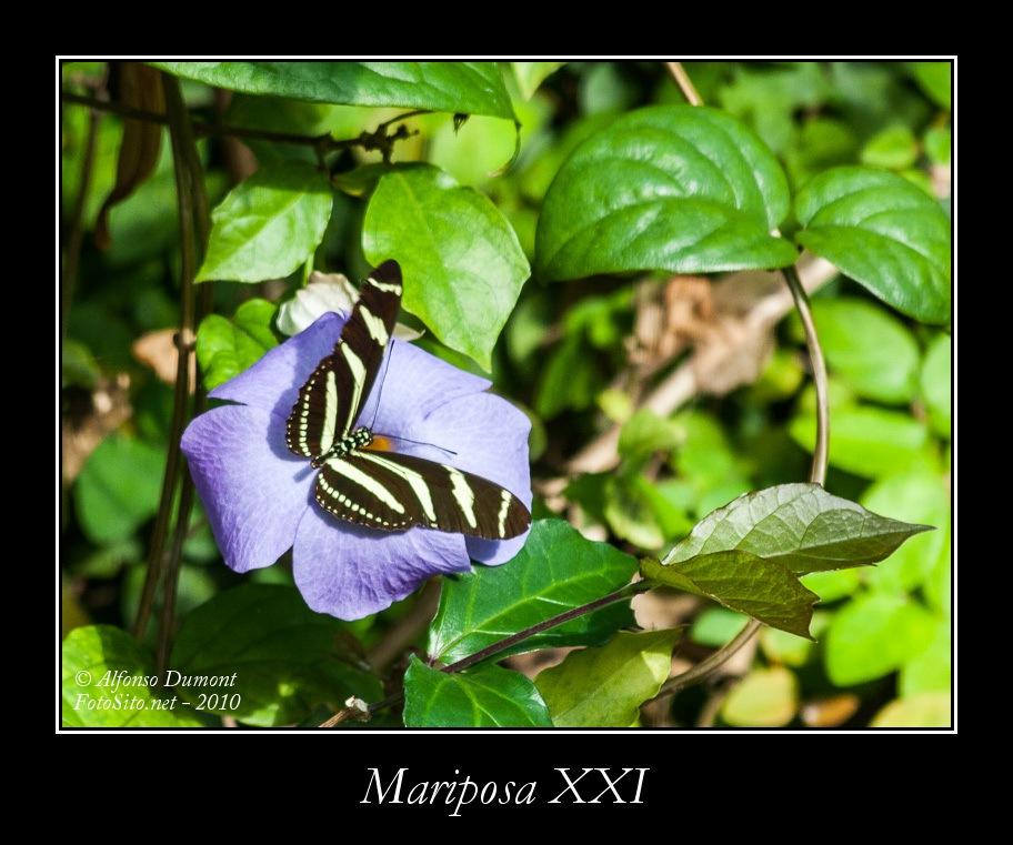 Mariposa XXI