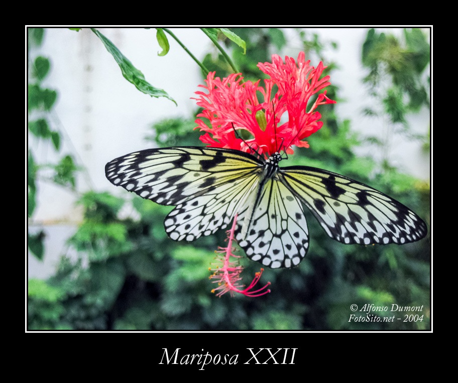 Mariposa XXII