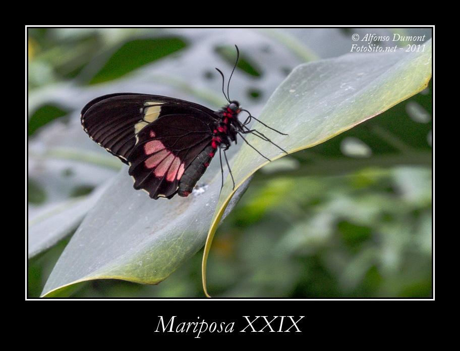 Mariposa XXIX