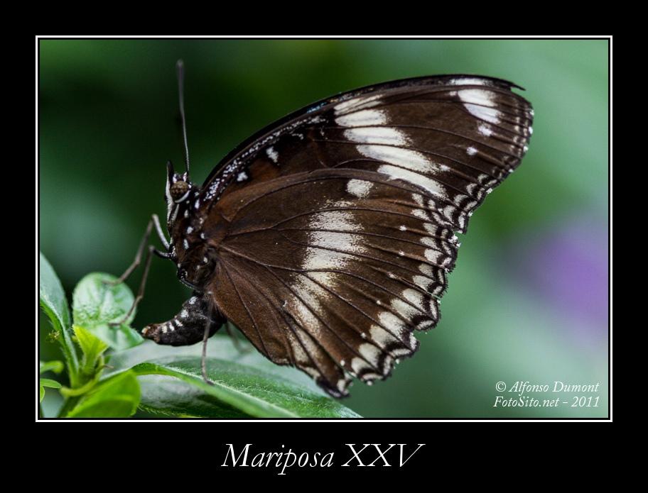 Mariposa XXV