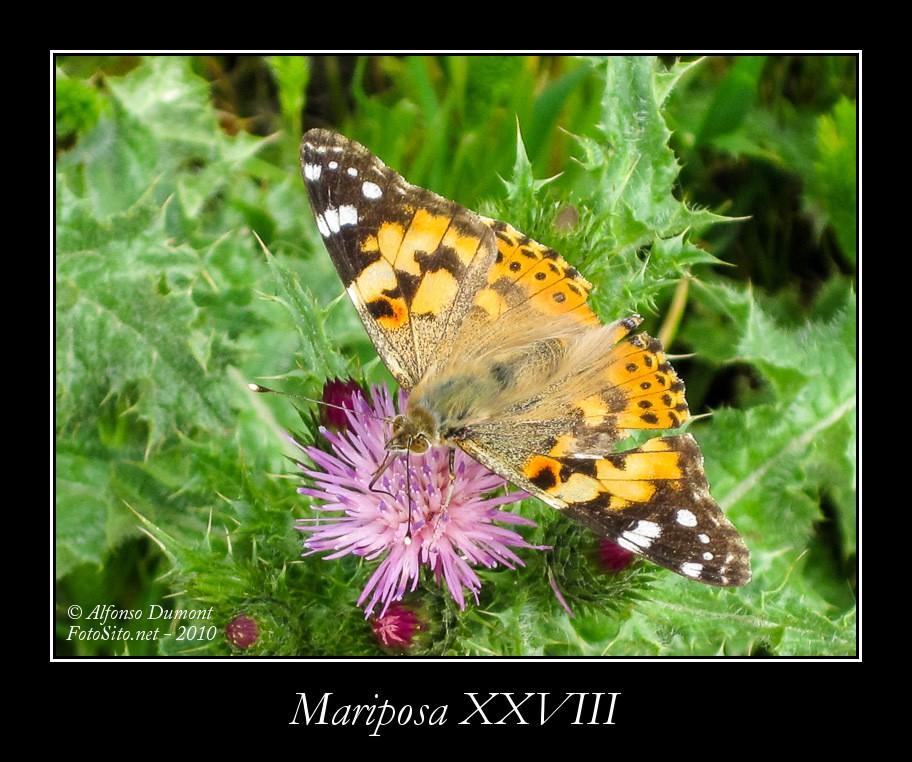 Mariposa XXVIII