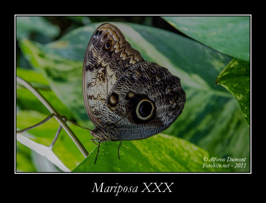 Mariposa XXX