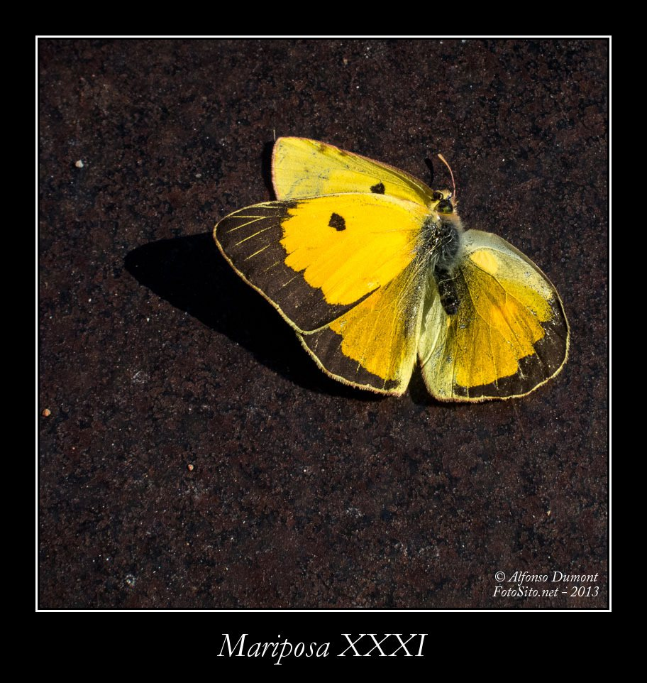 Mariposa XXXI