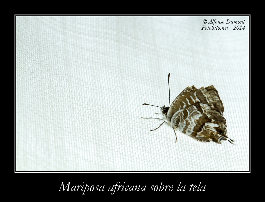 Mariposa africana sobre la tela