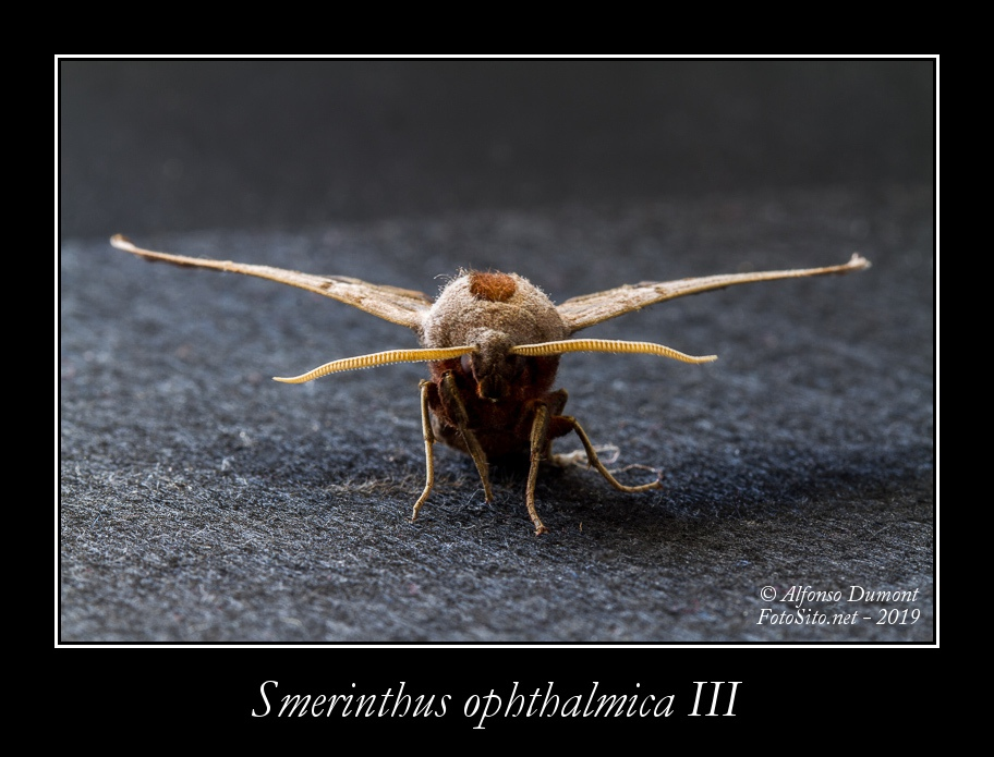 Smerinthus ophthalmica III