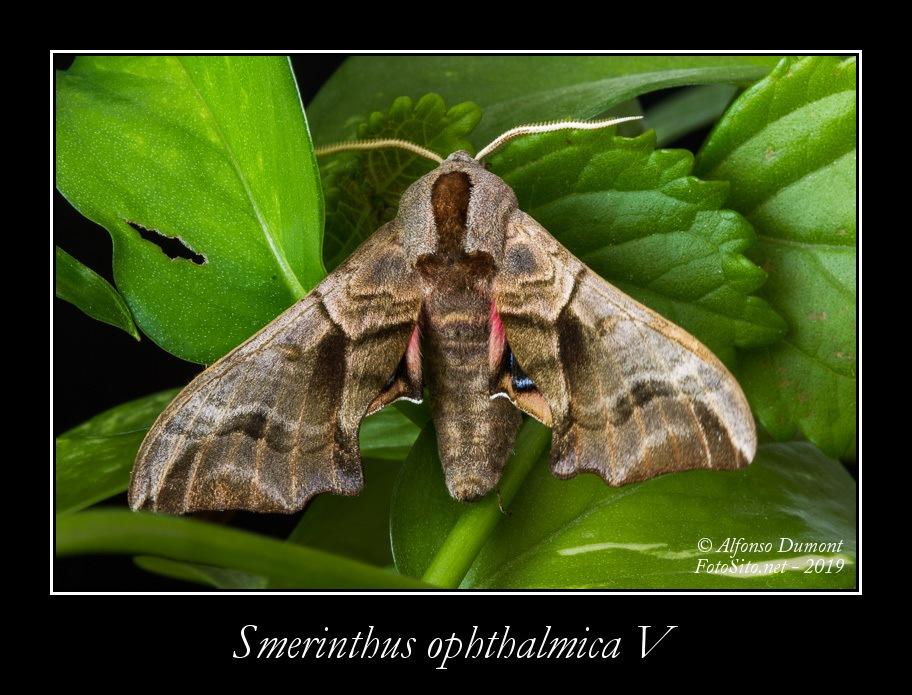 Smerinthus ophthalmica V