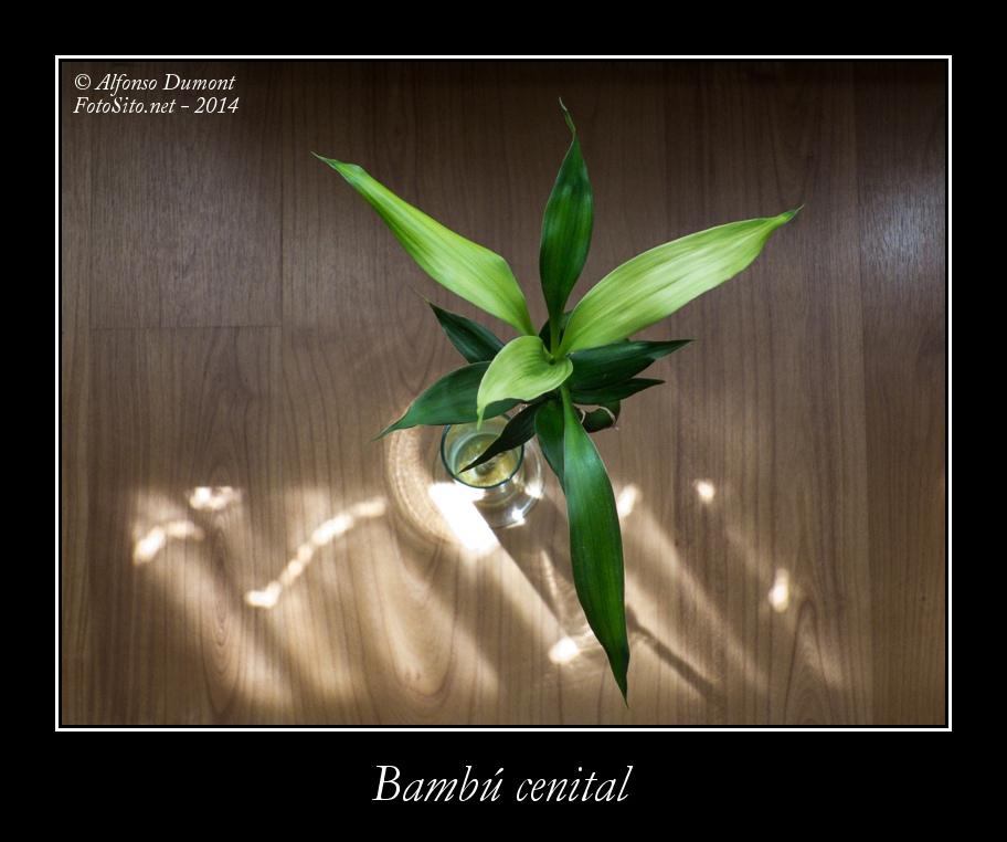 Bambu cenital