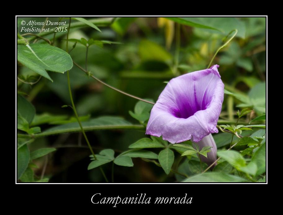 Campanilla morada