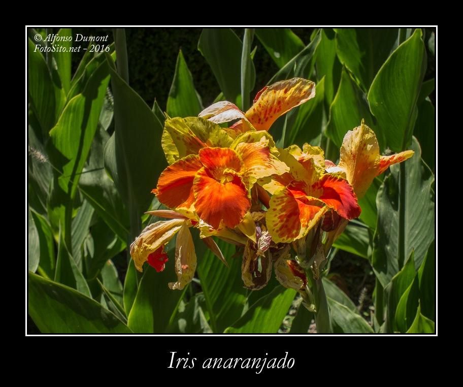 Iris anaranjado