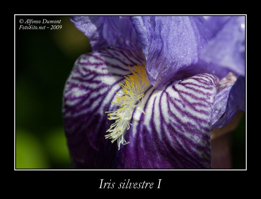 Iris silvestre I