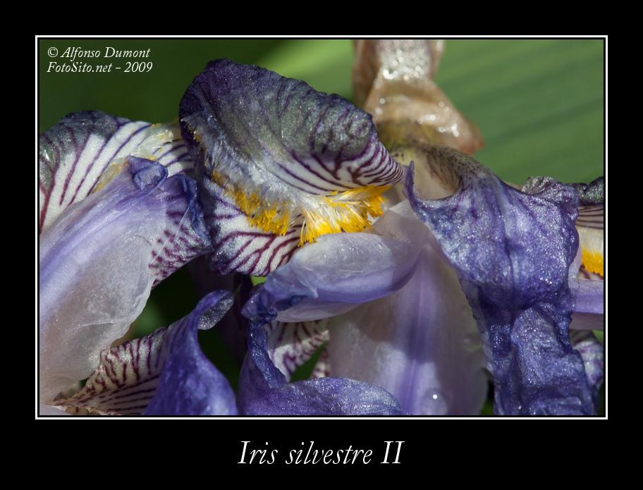 Iris silvestre II
