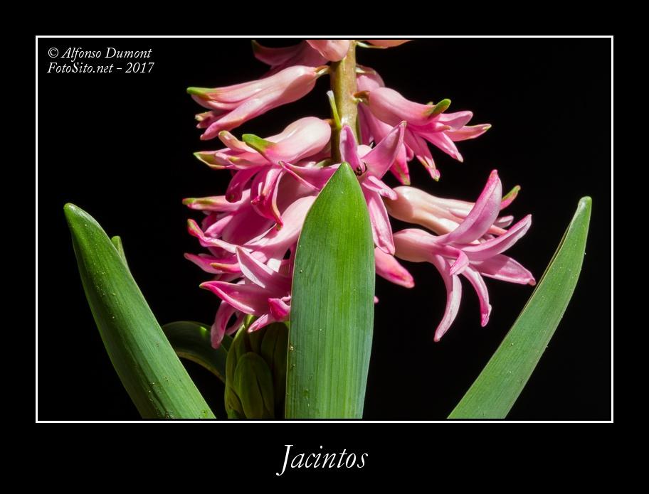 Jacintos