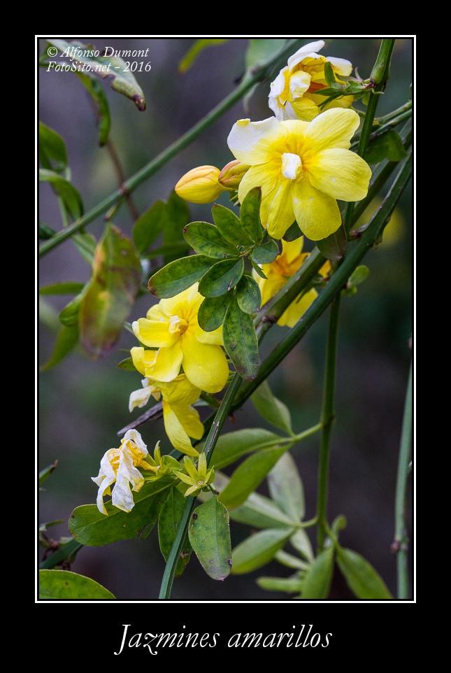 Jazmines amarillos
