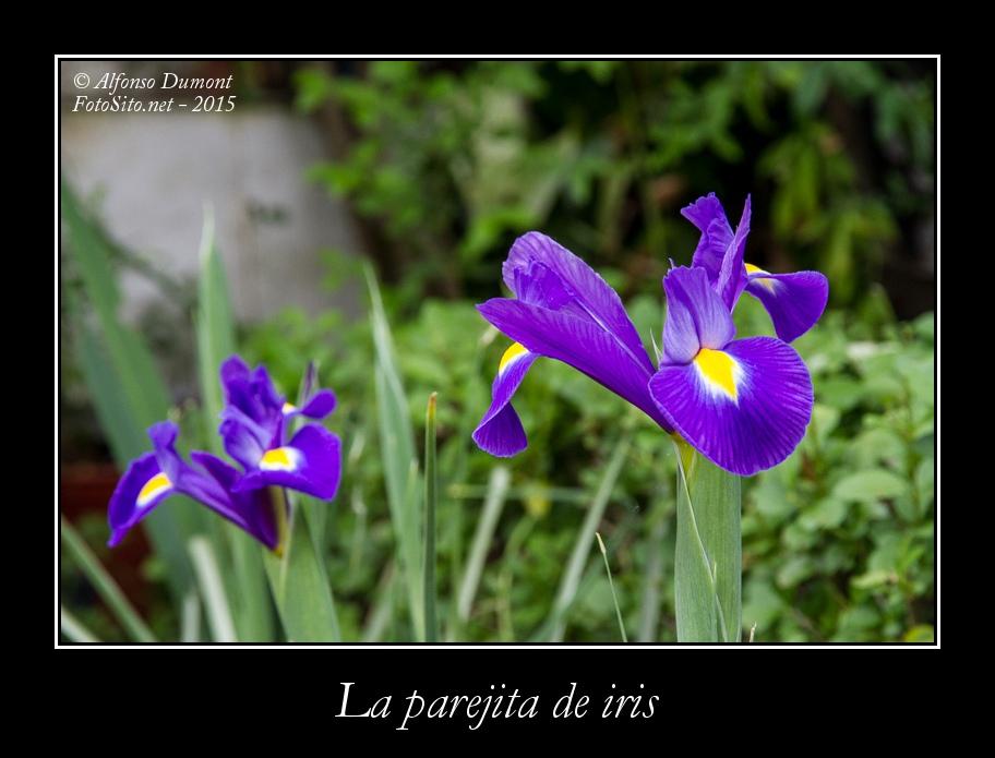 La parejita de iris