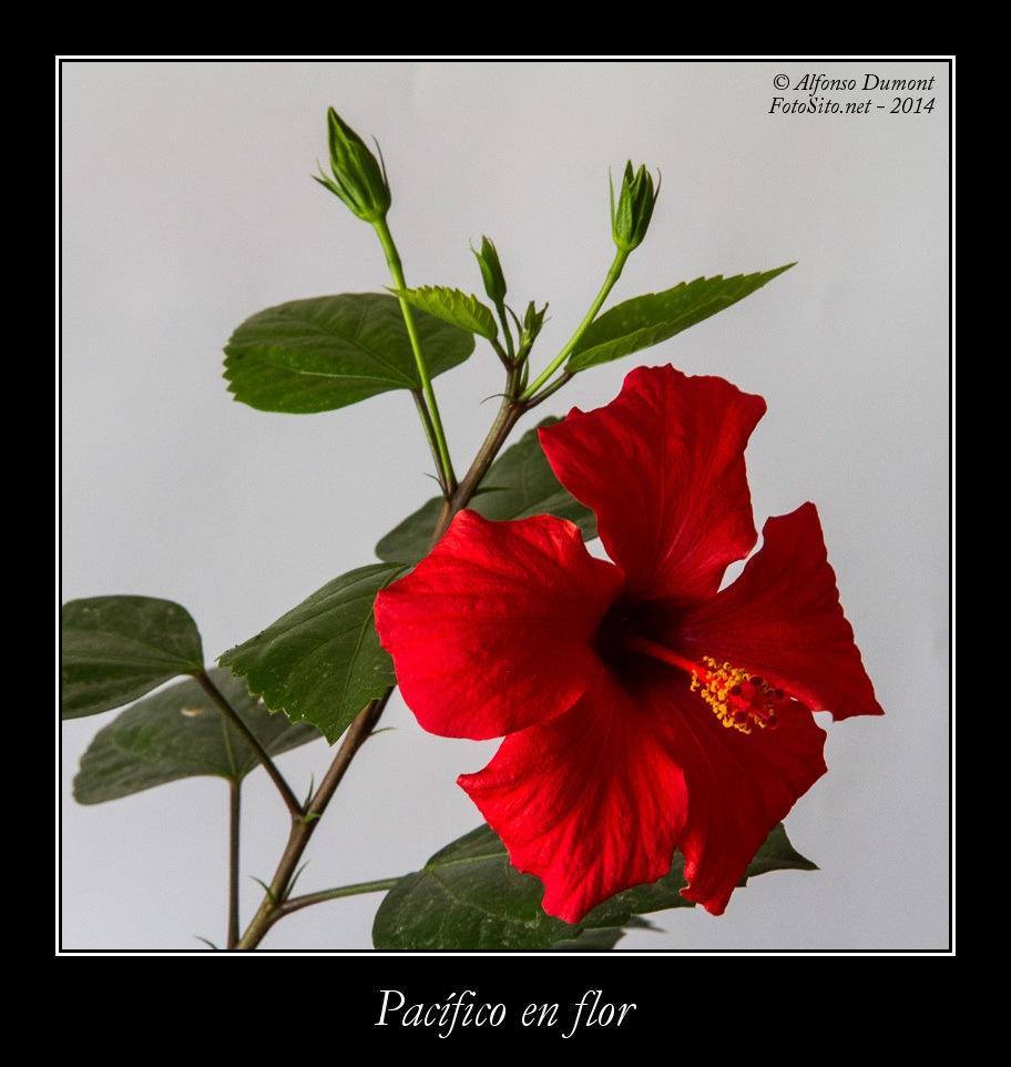 Pacifico en flor
