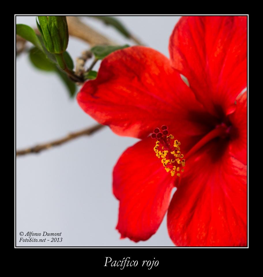 Pacifico rojo