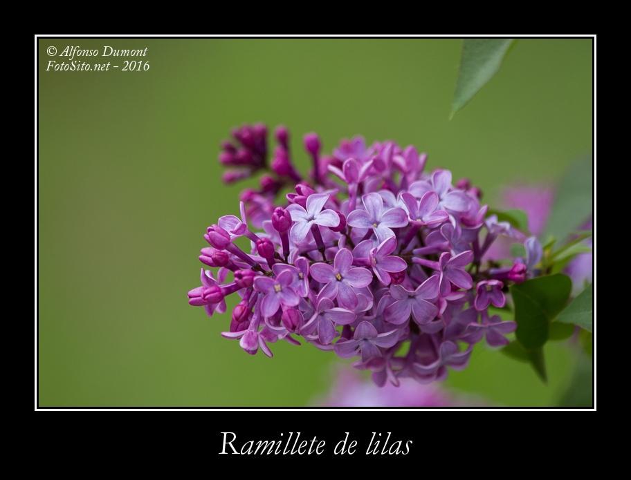 Ramillete de lilas