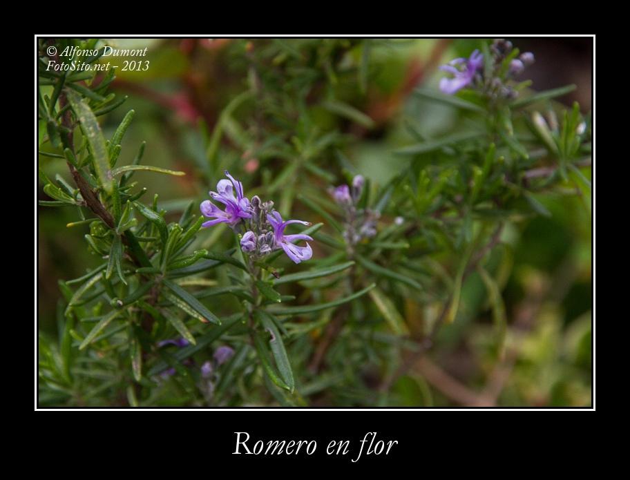 Romero en flor