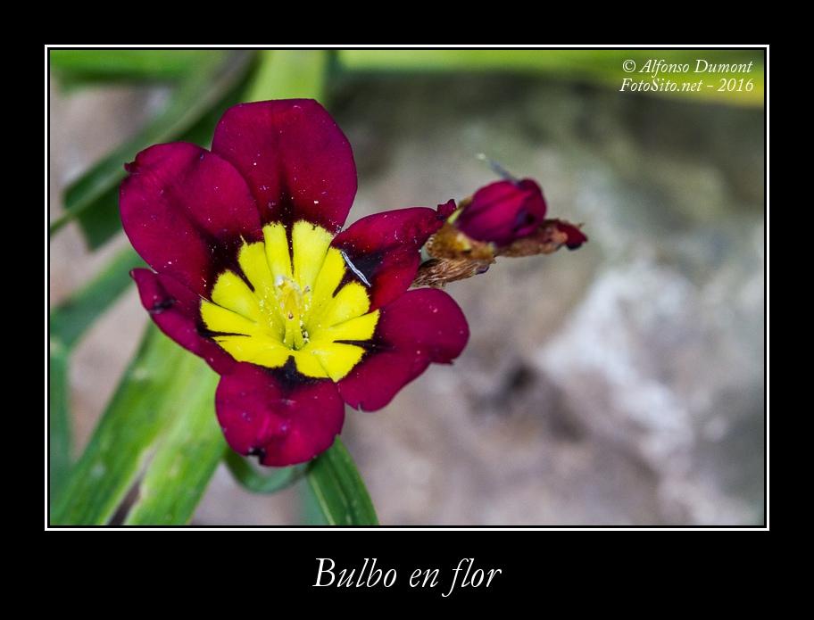 Bulbo en flor