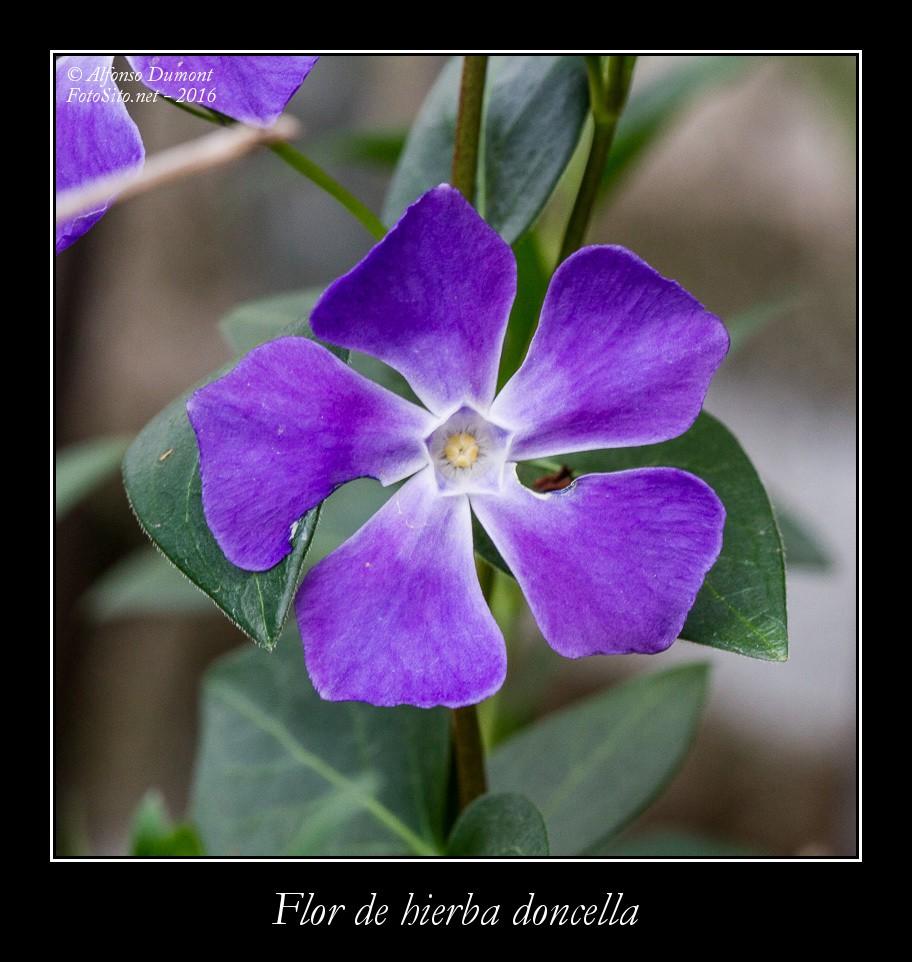 Flor de hierba doncella