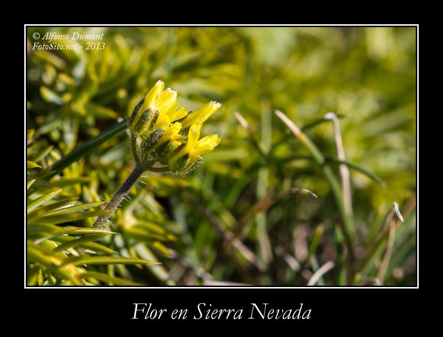 Flor en Sierra Nevada
