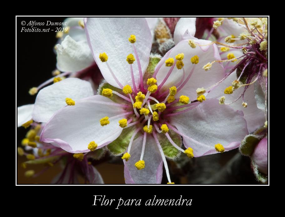 Flor para almendra