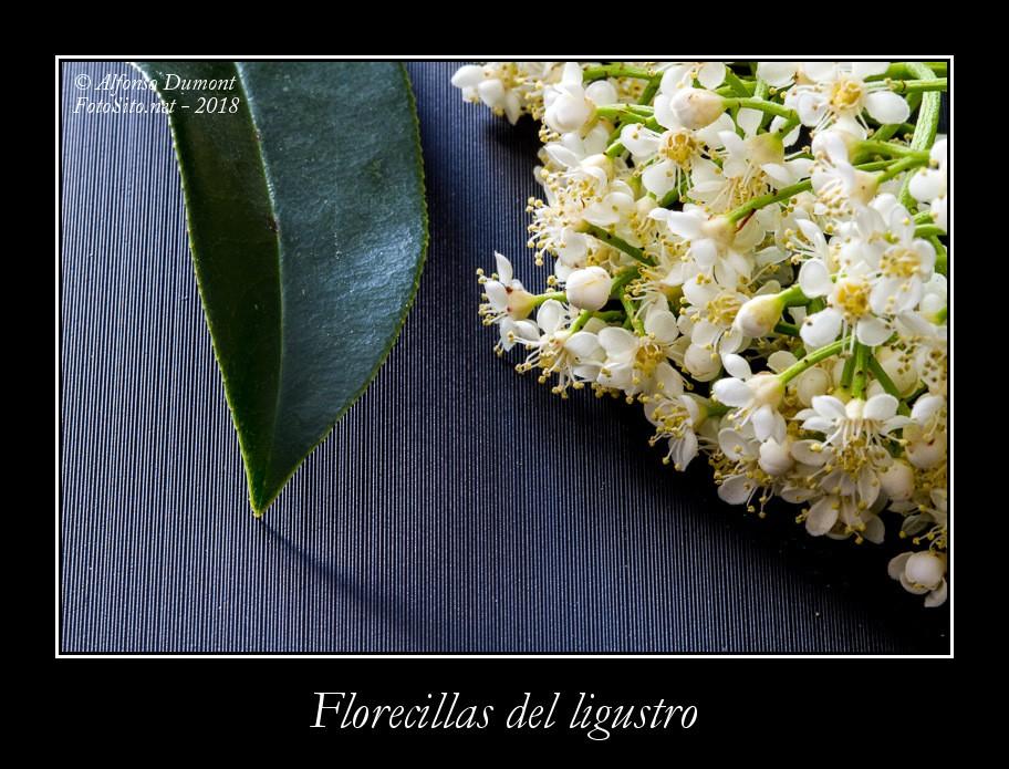 Florecillas del ligustro