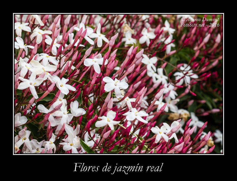 Flores de jazmin real