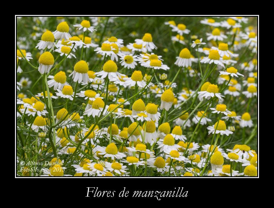 Flores de manzanilla