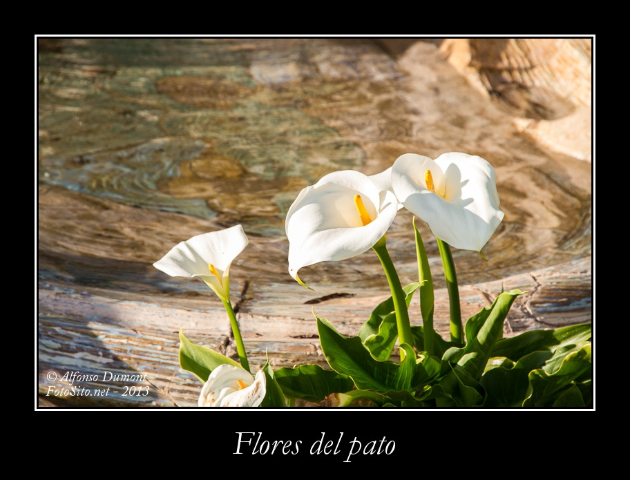 Flores del pato