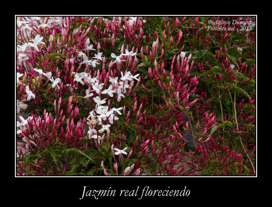 Jazmin real floreciendo