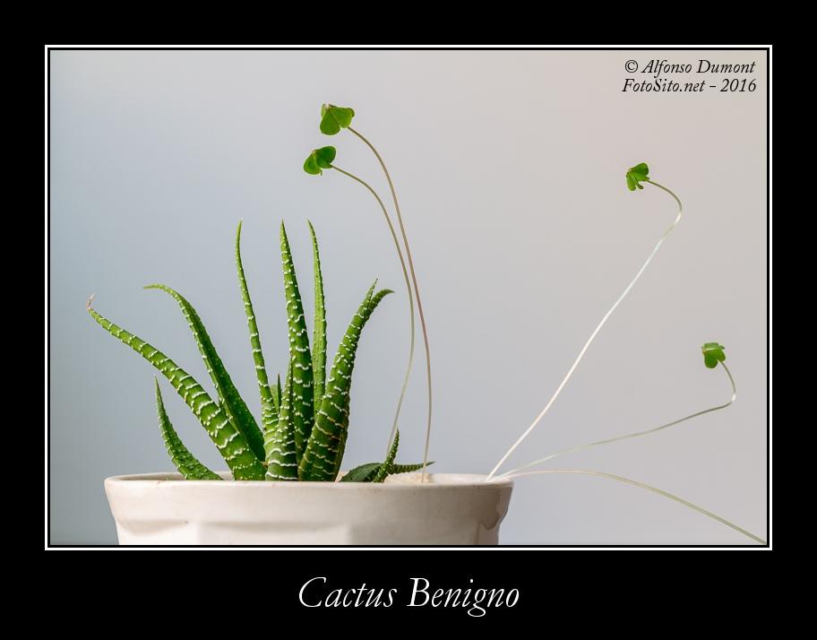 Cactus Benigno