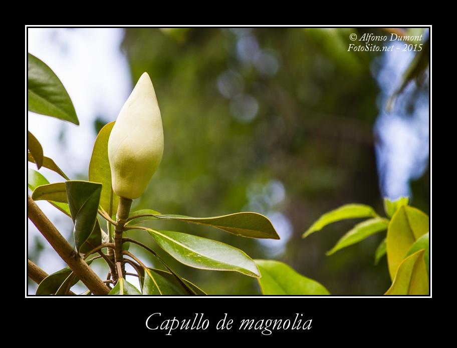 Capullo de magnolia