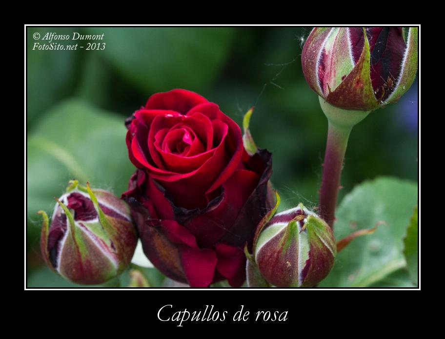 Capullos de rosa