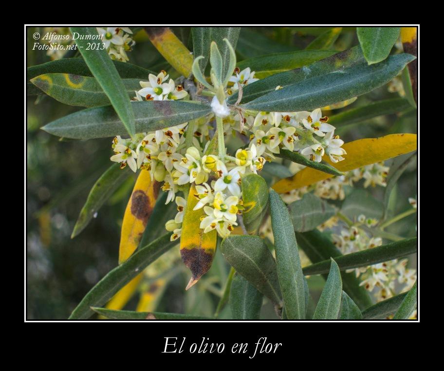 El olivo en flor