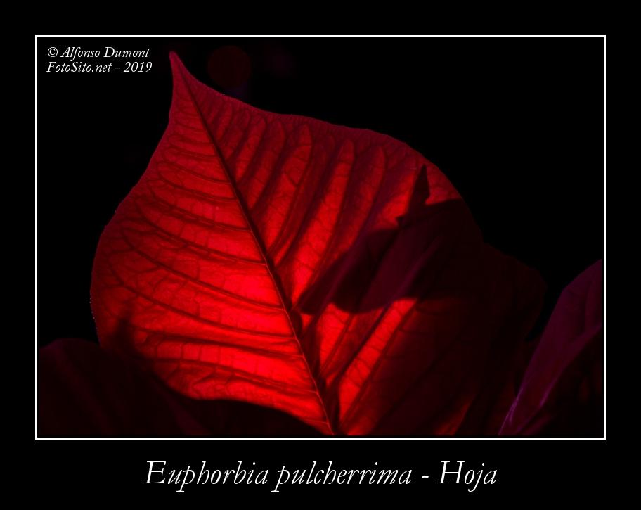 Euphorbia pulcherrima Hoja