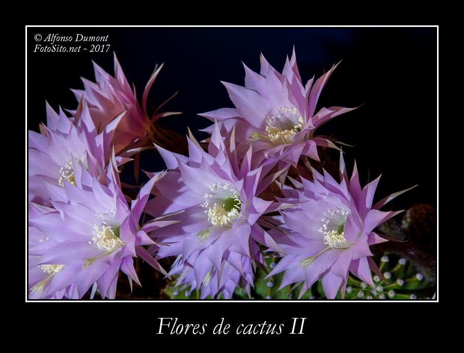 Flores de cactus II