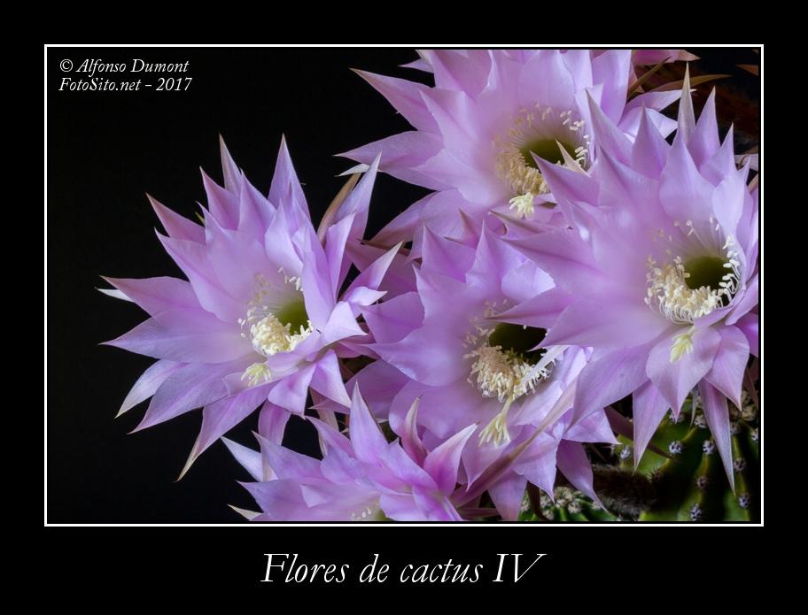 Flores de cactus IV